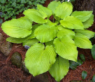 'Jimmy Crack Corn' Hosta