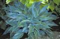 'Blue Sliver' Hosta Courtesy of Shady Oaks Nursery