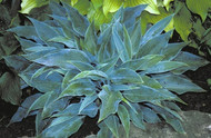 'Blue Sliver' Hosta Courtesy of Shady Oaks Nursery