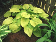 'Lakeside Butter Ball' Hosta Courtesy of Mary Chastain and the Hosta Library