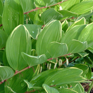 Variegated Solomon's Seal Courtesy of Walters Gardens