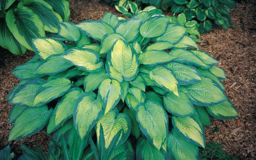 'Paul's Glory' Hosta Courtesy of Shady Oaks Nursery