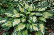 'Paul's Glory' Hosta From NH Hostas
