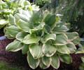 'Fragrant Bouquet' Hosta