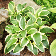 'Scooter' Hosta From NH Hostas