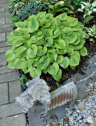 'Radiant Edger' Hosta From NH Hostas
