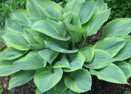 Alex Summers Hosta From NH Hostas