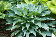 'Yankee Blue' Hosta