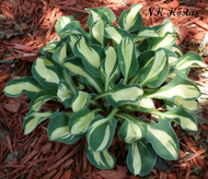 'Mouse Trap' Hosta From NH Hostas