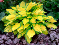 'Island Breeze' Hosta Courtesy of Walters Gardens