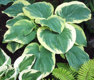 'Northern Exposure' Hosta Courtesy of Walters Gardens