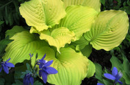 'Dawn's Early Light' Hosta