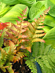 'Brilliance' Autumn Fern Courtesy of Walters Gardens