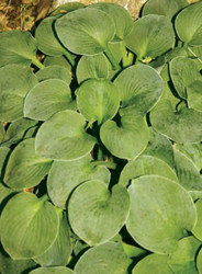 'Green Mouse Ears' Hosta
