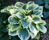 'Liberty' Hosta in Summer From NH Hostas