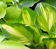 'Galaxy Light' Hosta