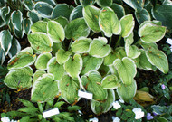 'Spellbound' Hosta From NH Hostas