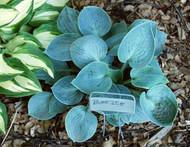 'Blue Ice' Hosta Courtesy of Carol Brashear