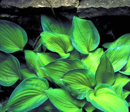 'Tick Tock' Hosta Courtesy of Shady Oaks Nursery
