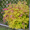 Dicentra 'Gold Heart' Courtesy of Walters Garden