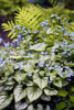 Brunnera 'Jack Frost' Courtesy of Walters Gardens