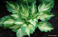 'Lakeside Paisley Print' Hosta Courtesy of Rick Goodenough