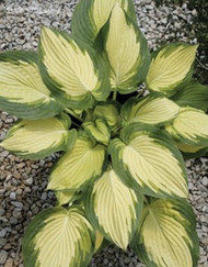 'Imperial Palace' Hosta Courtesy of Q&Z Nursery