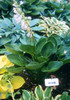 'Cup of Grace' Hosta Courtesy of Green Hill Farm