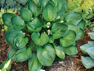 'Cup of Grace' Hosta Courtesy of Q & Z Nursery