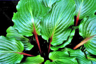 'Rocket's Red Glare' Hosta Courtesy of Bev Stegeman