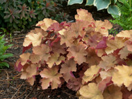 Heuchera 'Caramel' Courtesy of Walters Gardens