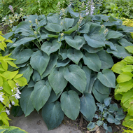 'Blue Angel' Hosta Courtesy of Walters Gardens
