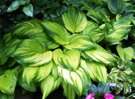 'On Stage' Hosta From NH Hostas