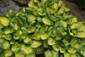 'Rainforest Sunrise' Hosta From NH Hostas
