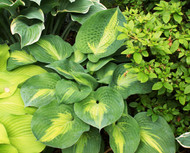 'St. Paul' Hosta From NH Hostas