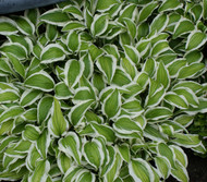 'Bunchoko' Hosta From NH Hostas
