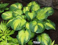 'Brother Stefan' Hostas From NH Hostas