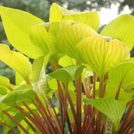'Designer Genes' Hosta Courtesy of Walters Gardens