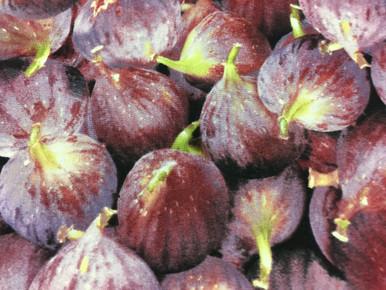 1 yard cut of Red Onions by RJR Fabrics