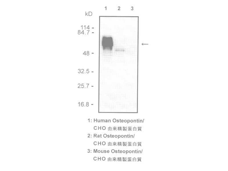 Osteopontin (O-17) Anti-Human Rabbit IgG Affinity Purify