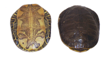 Shell - Turtle