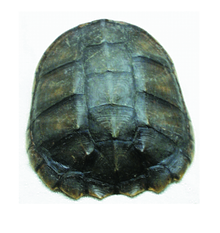 Shell - Snapping Turtle