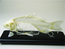 Skeleton - Fish