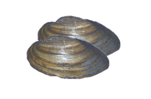 "3"" - 4"" Plain Freshwater Clams."