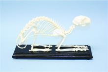 Skeleton - Cat