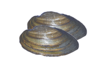 "5"" - 6"" Plain Freshwater Clams"