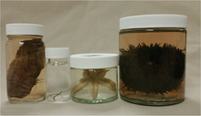 Echinodermata Jar Set