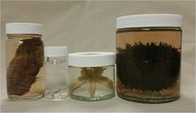 Echinodermata Jar Set