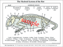 Dissection Key Card - Rat