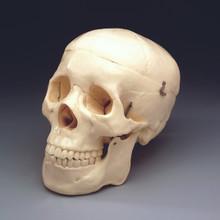 Budget Skull